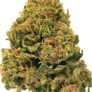 Hash Plant Marijuana Strain UK